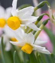 Narcisse Canaliculatus