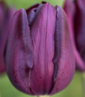 Tulipe Cafe Noir ®