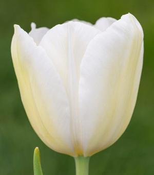 Tulipe Catherina