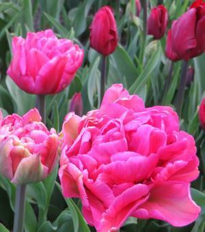 Tulipe Chato
