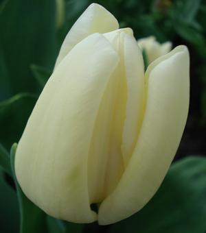Tulipe Francoise