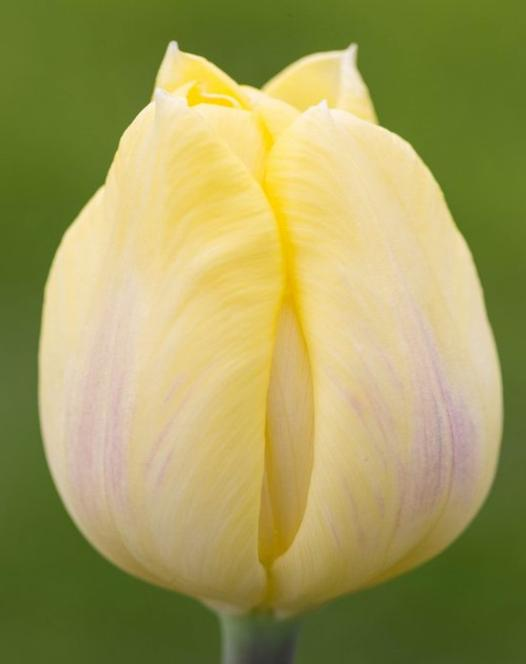 Tulip Cream Flag