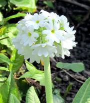 Primula Denticulata Alba