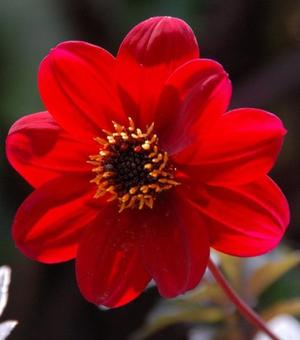Dahlia Bishop of Auckland ®