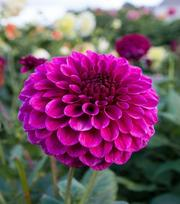 Dahlia Jowey Veronique