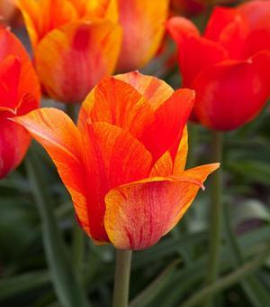 Tulipe El Nino