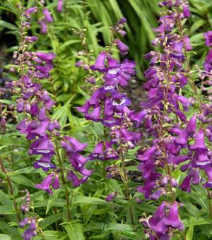 Penstemon Purple Passion