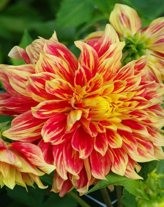Dahlia Collection Fiesta