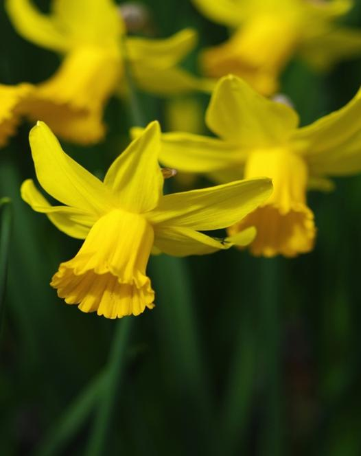 Narcisse February Gold