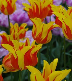 Tulipe Fireworks