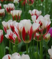 Tulipe Flaming Spring Green