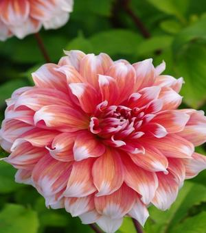 Pictured Dahlia Babylon Rose