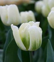 Tulipe Green Spirit
