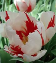 Tulipe Happy Generation