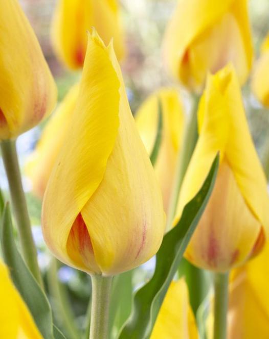 Tulipe Hocus Pocus