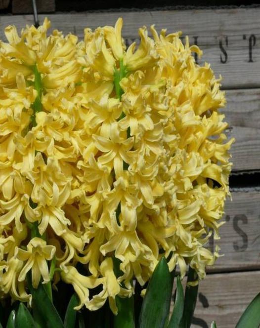 Jacinthe Yellow Queen