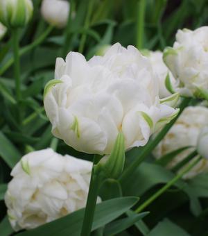 Tulipe Ice Age
