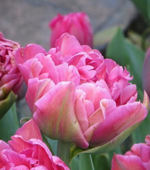 Tulipe Dior