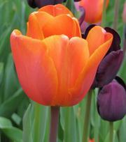 Tulipe Annie Schilder