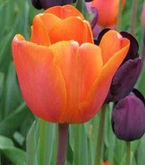 Tulip Annie Schilder