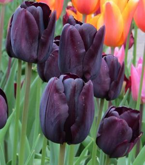 Tulipe Paul Scherer