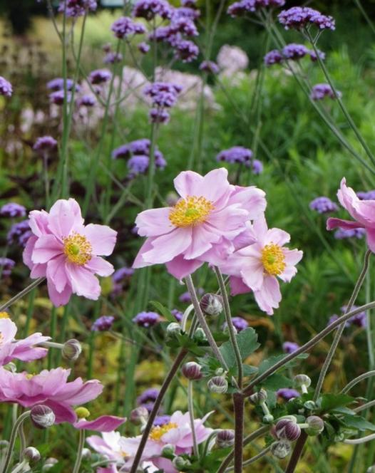 Anemone Mont Rose