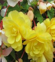Begonias Retombant Jaune