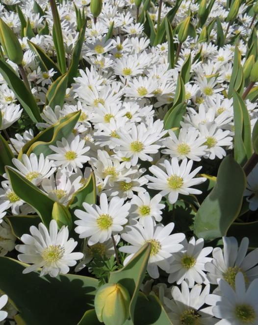 Anemone Blanda White Splendour