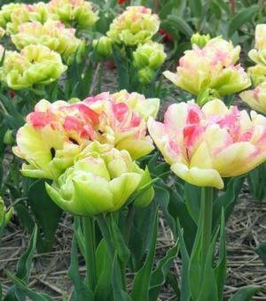 Tulipe Cartouche