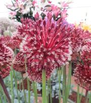 Allium Red Mohican