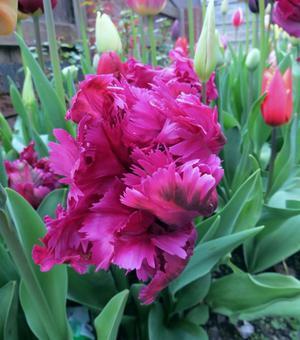 Tulipe Negrita Parrot