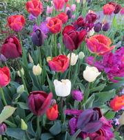 Collection Tulipes Flamenco