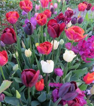 Collection Tulipes Flamenco