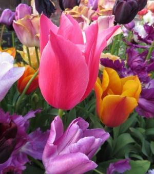 Tulipe Mariette
