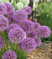 Allium Mars