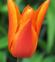 Tulipe Ballerina