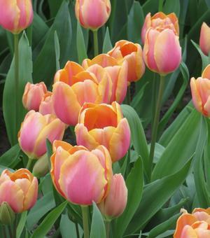 Tulipe Dragon King