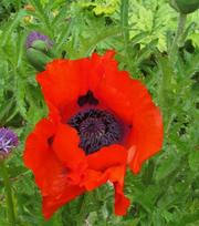Papaver (Poppy) Beauty of Livermere
