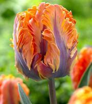Tulipe Irene Parrot