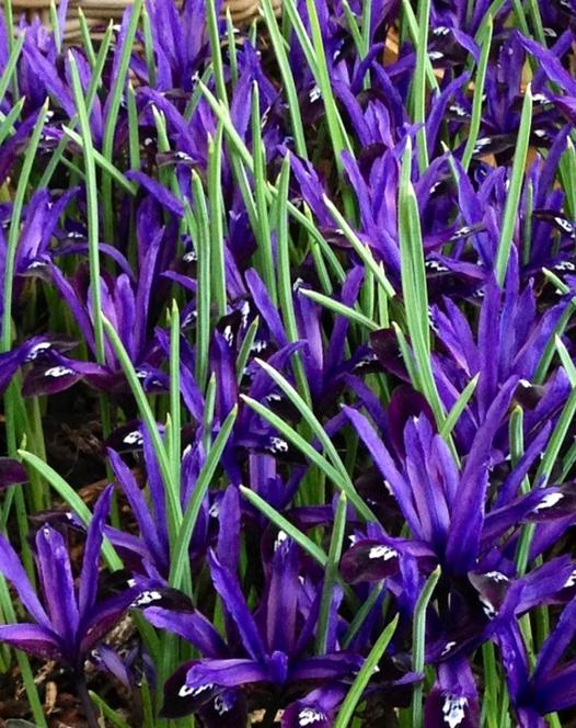 Iris Reticulata Blue Note