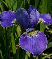 Iris Silver Edge