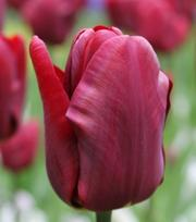 Tulipe Jan Reus