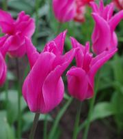 Tulipe Jazz