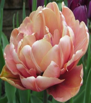 Tulipe La Belle Epoque