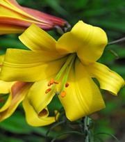Lis Golden Splendour