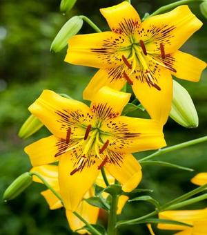 Lilium Yellow Bruse
