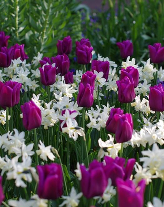 Tulipe Passionale