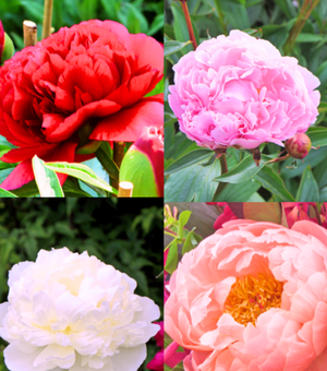 Collection des Peonies