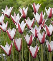 Tulipe Clusiana Peppermint Stick