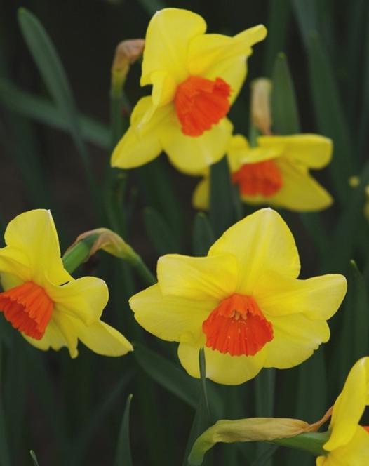 Narcisse Pipe Major